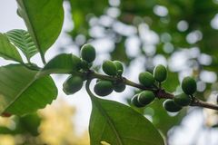 Arabica green immature coffee beans on the tree Stock Image
