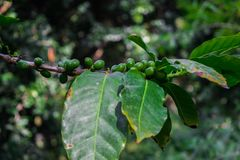 Arabica green immature coffee beans on the tree. Growing up Royalty Free Stock Photography