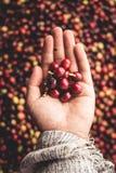 Arabica in hand Zuidoost-Azië van koffiekersen stock foto's