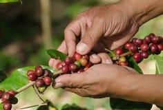 Arabica kawowe jagody na rękach Fotografia Stock