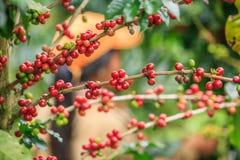 Arabica koffiebessen op Bolaven-Plateau royalty-vrije stock foto's