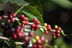 Red coffee bean Royalty Free Stock Photo