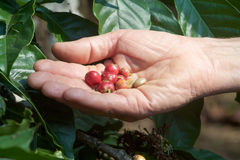 Arabica and robusta coffee beans in a man`s hand. Near plantation Stock Images
