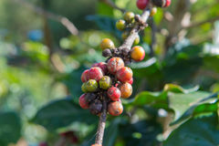Arabica and Robusta tree in Coffee plantation Stock Photos