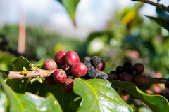 Arabica and Robusta tree in Coffee plantation Stock Photo