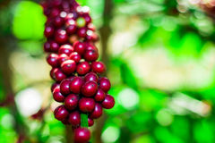 Arabica red color Stock Photos