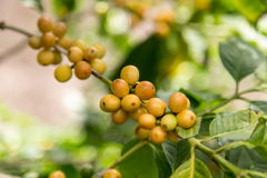 Arabica yellow coffee beans in detail. Arabica yellow coffee beans on tree branch Royalty Free Stock Image