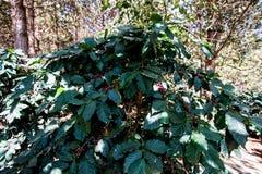 Arabicabeeren-Kaffeebohnen auf Baum stockfotografie