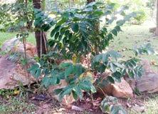ArabicaKaffeebaum mit Kaffeebohne in der Caféplantage Lizenzfreie Stockbilder