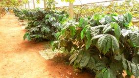 ArabicaKaffeebaum mit Kaffeebohne in der Caféplantage Stockbild