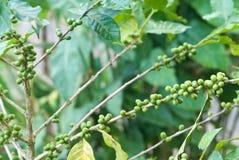 Arabicakaffeeplantage in Thailand Stockfoto