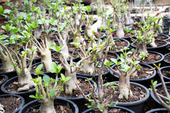 Arabicum adenium is on growing. Arabicum adenium a desert rose Stock Photo