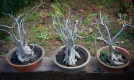 Arabicum Adenium socotranum. Adenium socotranum that shown roots in garden Royalty Free Stock Photo