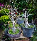 Arabicum Adenium socotranum. Adenium socotranum that shown roots in garden Stock Photo