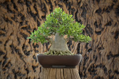 Arabicum bonsai. On wood texture Royalty Free Stock Image