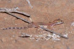 Arabicus Arabe de Trigonodactylus de gecko de sable la nuit dans le désert des Emirats Arabes Unis photographie stock libre de droits
