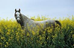 Arabien horse. Shagya arabien horse on the meadow Stock Image