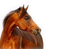 Arabin stallion Stock Images