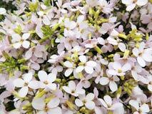 Arabis λουλουδιών, σταυρανθού Στοκ Εικόνες