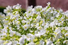 Arabis alpina kwiaty fotografia royalty free
