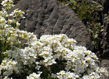 Arabis x arendsii Wehrh. White wall cress flowers over rock background Stock Photography