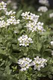 Arabis caucasica ornamental garden white flowers, mountain rock cress in bloom. Arabis caucasica ornamental garden white ornamental flowers, mountain rock cress Stock Photography