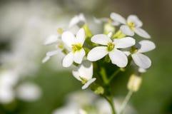 Arabis caucasica ornamental garden white flowers, mountain rock cress in bloom royalty free stock image