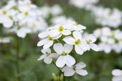 Arabis caucasica ornamental garden white flowers, mountain rock cress in bloom. Arabis caucasica ornamental garden white ornamental flowers, mountain rock cress Stock Image