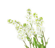 Arabis caucasica or rock cress Royalty Free Stock Images