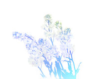 Arabis caucasica toned blue solated on white. Arabis small soft terry white wildflowers isolated on white backdrop. Vintage tinted blue color Royalty Free Stock Image