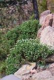 Arabis caucasica w rockowym ogródzie obrazy stock