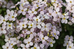 Arabis close up Stock Image
