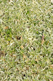 Arabis fern. Groundcover plant, decorative texture in the garden Stock Image