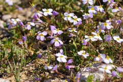 Arabis flaviflora rosea blossoming. In Israel Stock Photography