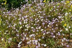 Arabis flaviflora rosea blossoming. In Israel Stock Image