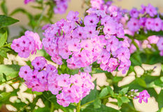 Arabis or rockcress pink flowers, green bush, close up Stock Image