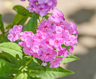 Arabis or rockcress pink flowers, green bush, close up Stock Images