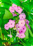 Arabis or rockcress pink flowers, green bush, close up Royalty Free Stock Image