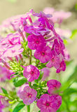 Arabis or rockcress pink flowers, green bush, close up Stock Photos