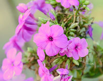 Arabis or rockcress pink flowers, green bush, close up Royalty Free Stock Photography