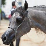 Arabisch en Egyptisch paard Royalty-vrije Stock Afbeeldingen