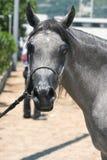 Arabisch en Egyptisch paard Royalty-vrije Stock Foto