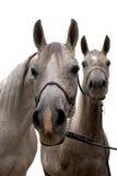 Arabisch geïsoleerdn paard twee Stock Foto