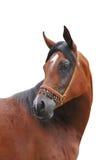 Arabisch geïsoleerdv paard Royalty-vrije Stock Afbeeldingen