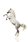 Arabisch geïsoleerdh paard Royalty-vrije Stock Afbeeldingen