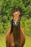 Arabisch het paardportret van de baai Stock Foto