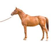 Arabisch paard stock afbeeldingen