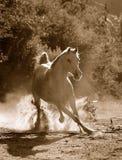 Arabisch paard