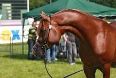 Arabisch paard Stock Fotografie