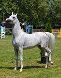 Arabisch Paard Royalty-vrije Stock Fotografie
